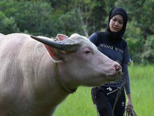 Pink Buffalo Girl Cant Live A Day Without Awang