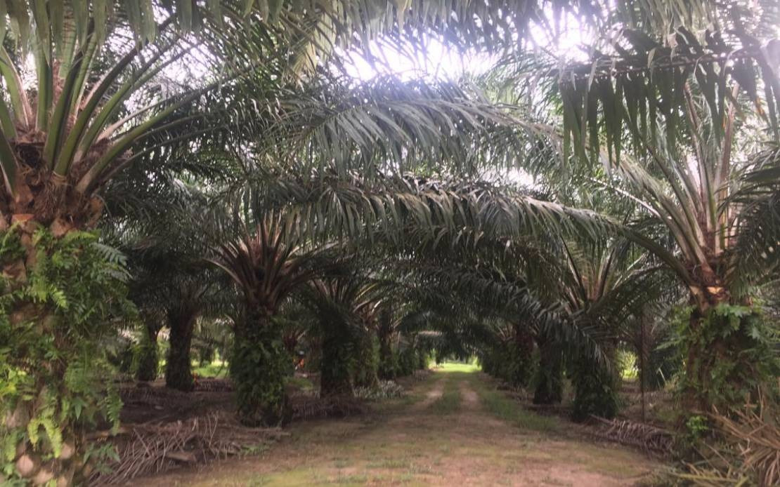 PALM OIL: 85 per cent of Malaysia's oil palm plantation MSPO-certified: MPOB