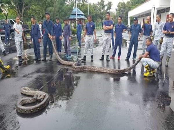 BERNAMA com - Two pythons weighing 250 kg caught mating near